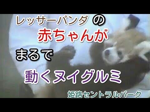 レッサーパンダの赤ちゃんがまるでぬいぐるみ(short ver.)lesser panda like