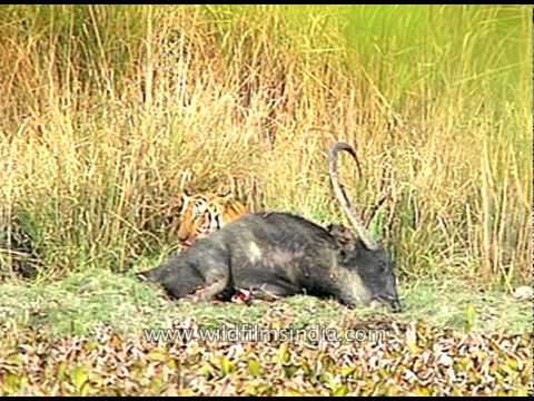 One hell of a meal - Tiger eating remains of wild water Buffalo - Kaziranga National Park
