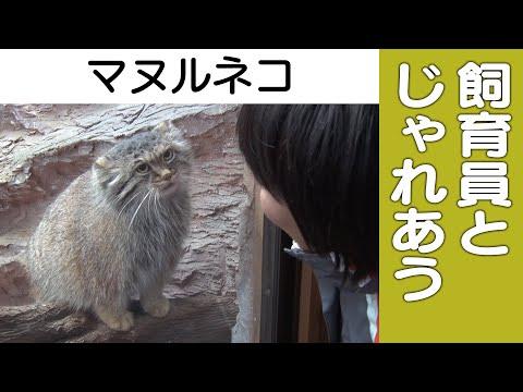 【マヌルネコ】飼育員とじゃれあい!@那須どうぶつ王国 Pallas cat - playing with zoo keeper
