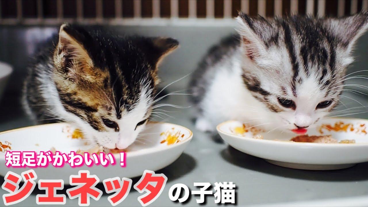 短足子猫(ジェネッタ)のかわいい成長記録【今日の子猫18】