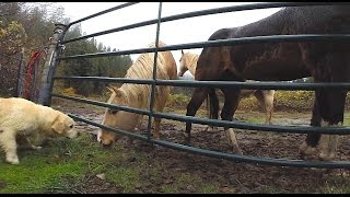 Golden Retriever Barking At Horses - They Don't Care!