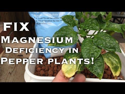 Dutch Bucket Pepper Plants 2 - (Fixing Magnesium Deficiency)