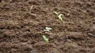 作物观察:首次除草剂应用于甜菜作物