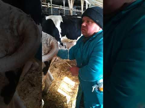 лечение скрытого и хронического эндометрита у коров