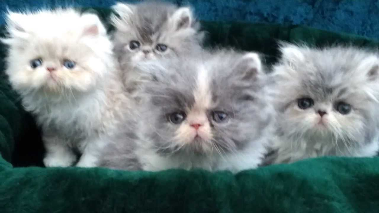 Persian and Himalayan kittens for sale by Liztopcat
