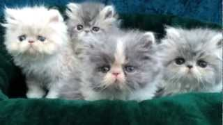Persian and Himalayan kittens for sale by Liztopcat.com