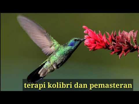 Terapi Pemasteran Kolibri Youtube