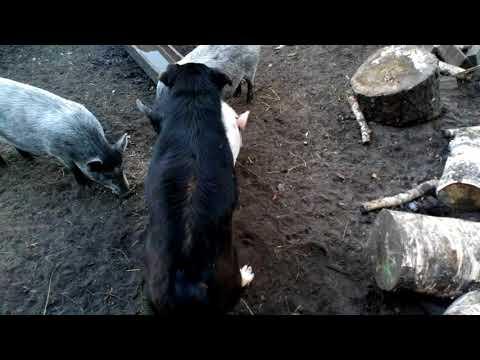 Учёные скрестили собаку с поросёнком!!!Жесть!!!