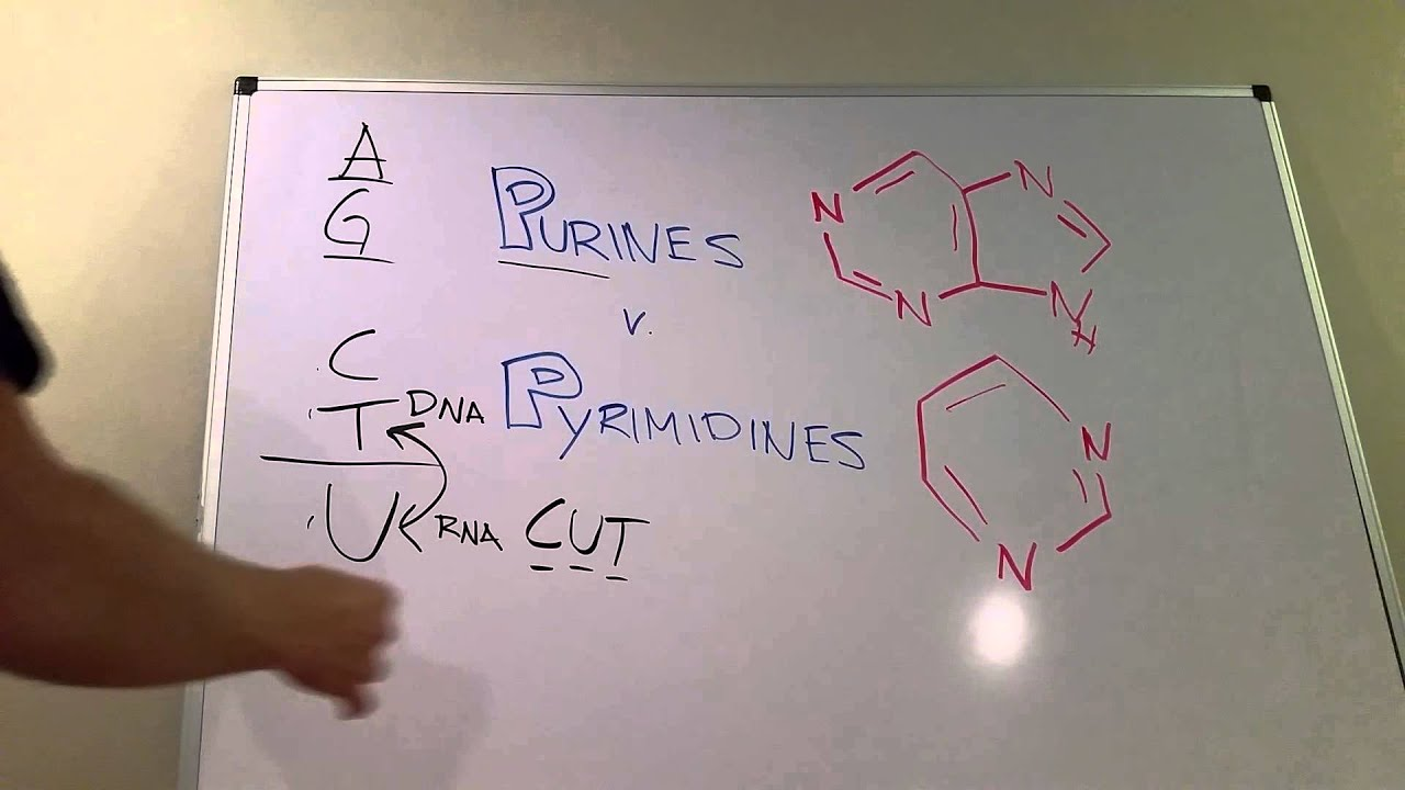 purines vs pyrimidines youtube