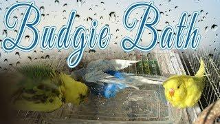 How to Bathe Budgies and Bath Benefits
