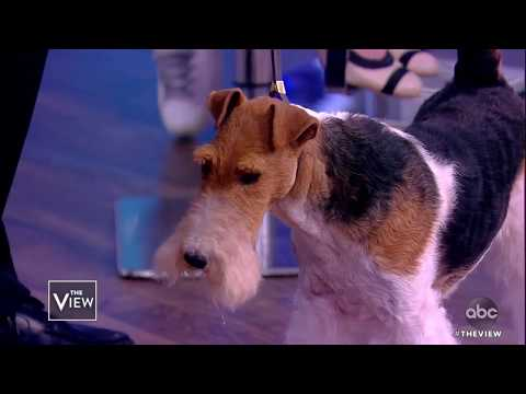 King the 2019 Westminster Kennel Club Dog Show Winner | The View