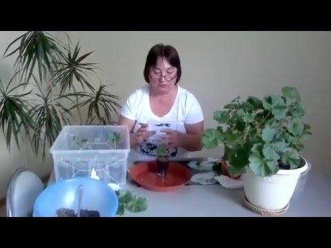 Как разводить герань в домашних условиях