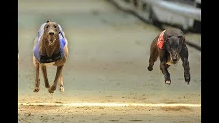 Race in desert #6 | 300 Meters race of greyhounds | dog race 2018