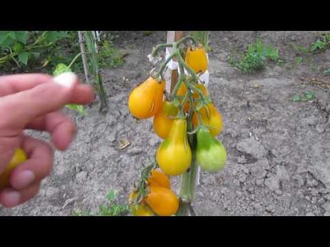 Томаты Медовая капля - помидоры на моем огороде
