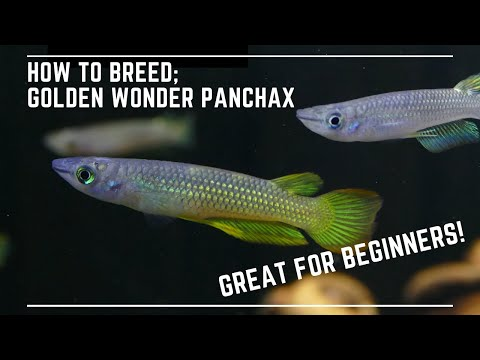How To Breed Golden Wonder Panchax - Great Beginner Top Dwelling Fish