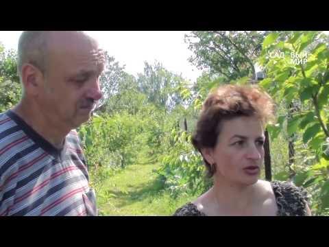 Черешня в Средней полосе. Сайт Садовый мир