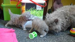 Selkirk Rex kittens  daily practice....avi