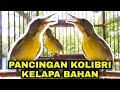 Kolibri Kelapa Korlap Gacor Ngalas Wikplong  Mp3 - Mp4 Download
