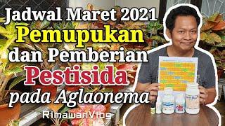 (Eps. 93) Jadwal Pemupukan dan Pemberian Pestisida Maret 2021 | Rimawan Vlog