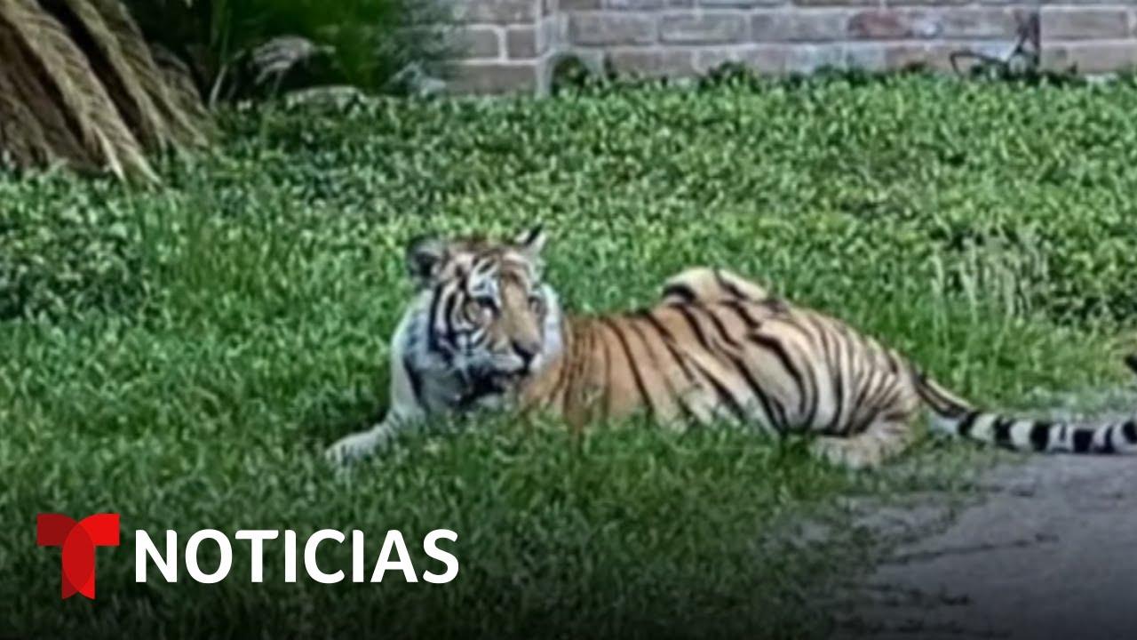 ¿Cómo actuar en caso de encontrarse con el tigre de Bengala que deambula por las calles de Houston?
