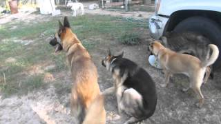 Our Pack At German Shepherd Rescue Of Central Florida