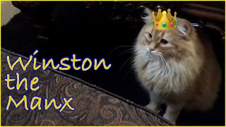 Manx Cats (Cymric Manx)