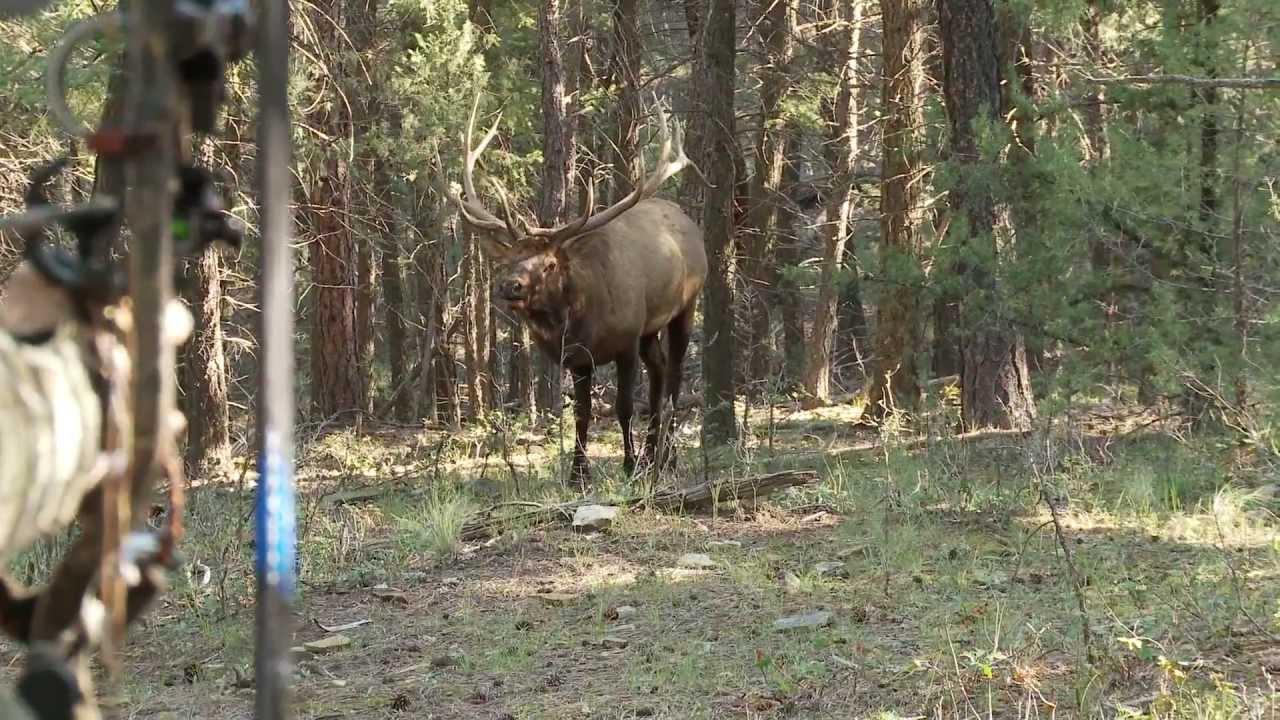 bowhunting elk monster bull at 10 steps   youtube