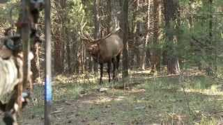 Bowhunting Elk: Monster Bull at 10 Steps