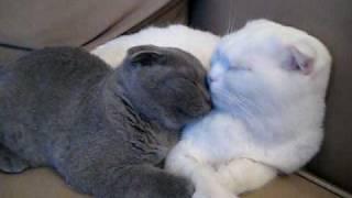 Scottish Fold White Cat and Grey Kitten