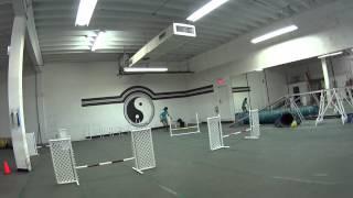 Junior American Cocker Spaniel Agility Training Beginner 07/19/2015
