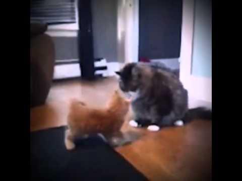 Chết cười với 2 con mèo đánh nhau