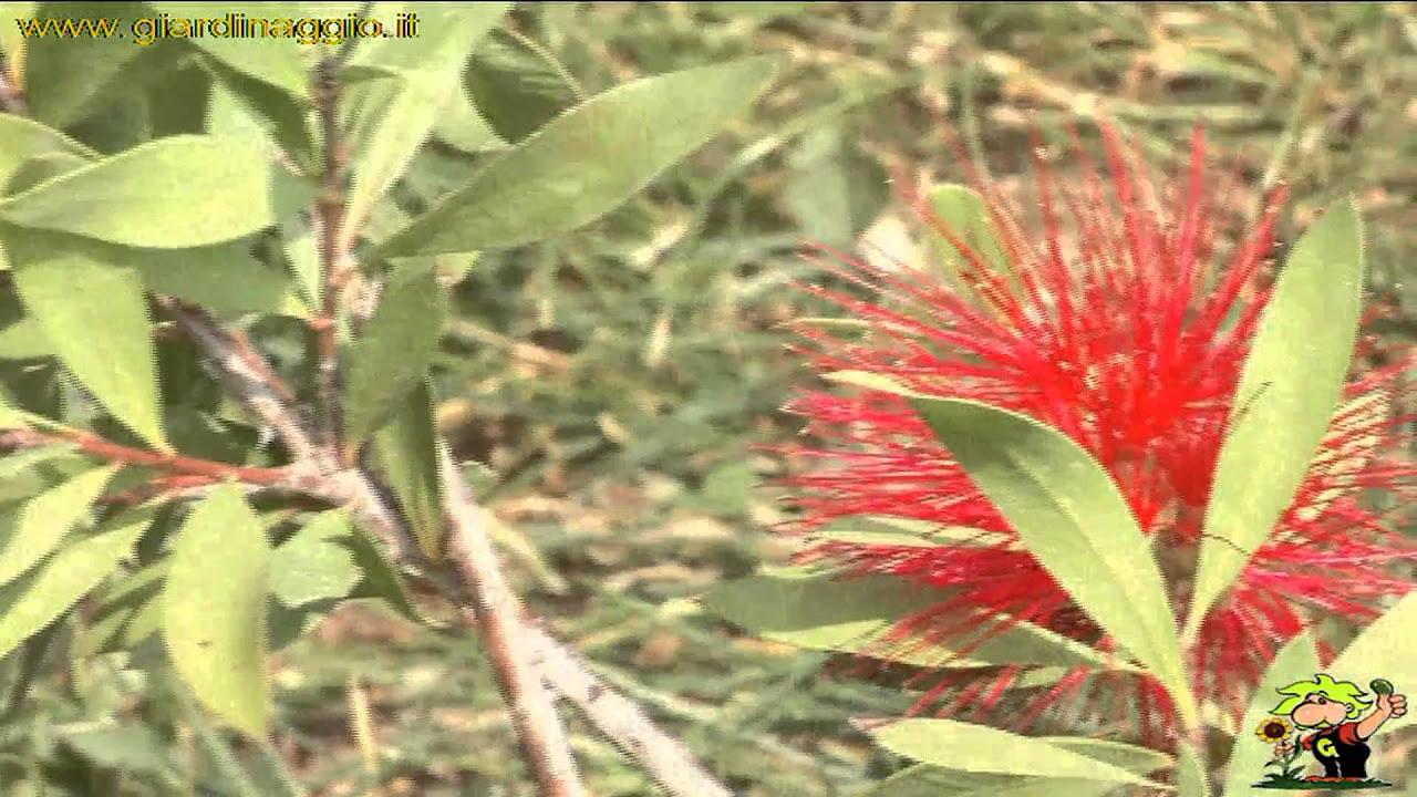 callistemon - callistemon - piante da giardino - callistemon - arbusti - Piante Da Giardino Sempreverdi Alto Fusto