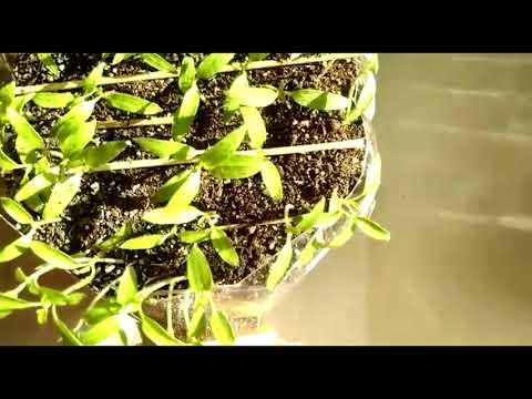 Как растет рассада томатов? Что делать, чтобы она не вытягивалась??