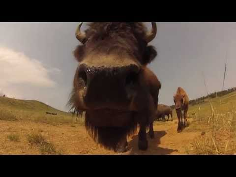 Bison Smell my GoPro in Yellowstone