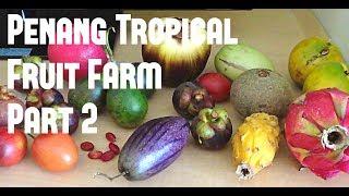 Penang Tropical Fruit Farm 2 (lemon Drop, Yellow Mangosteen, Rokam Masam) Weird Fruit Explorer-ep 42