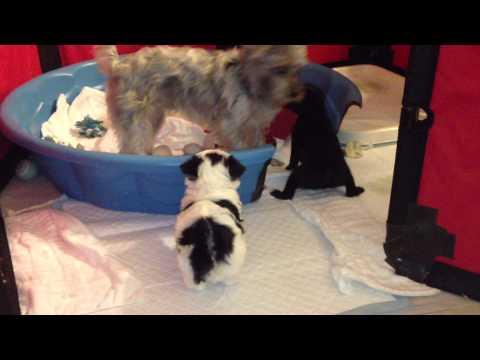 pomeranian,-poodle,-maltese,-yorkie-mix-puppies---5-weeks-old