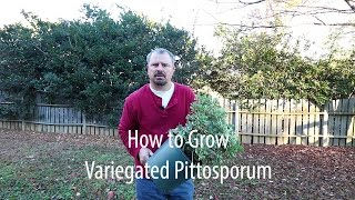 How to grow Variegated Pittosporum (Japanese Mock Orange) with a detailed description
