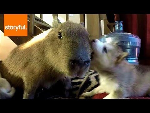 Patient Capybara Tolerating Husky Puppies