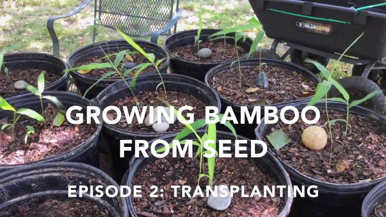 How to Grow Bamboo from Seed