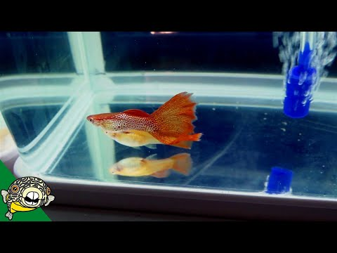 Swordtail fish: care, size, lifespan, tankmates, breeding