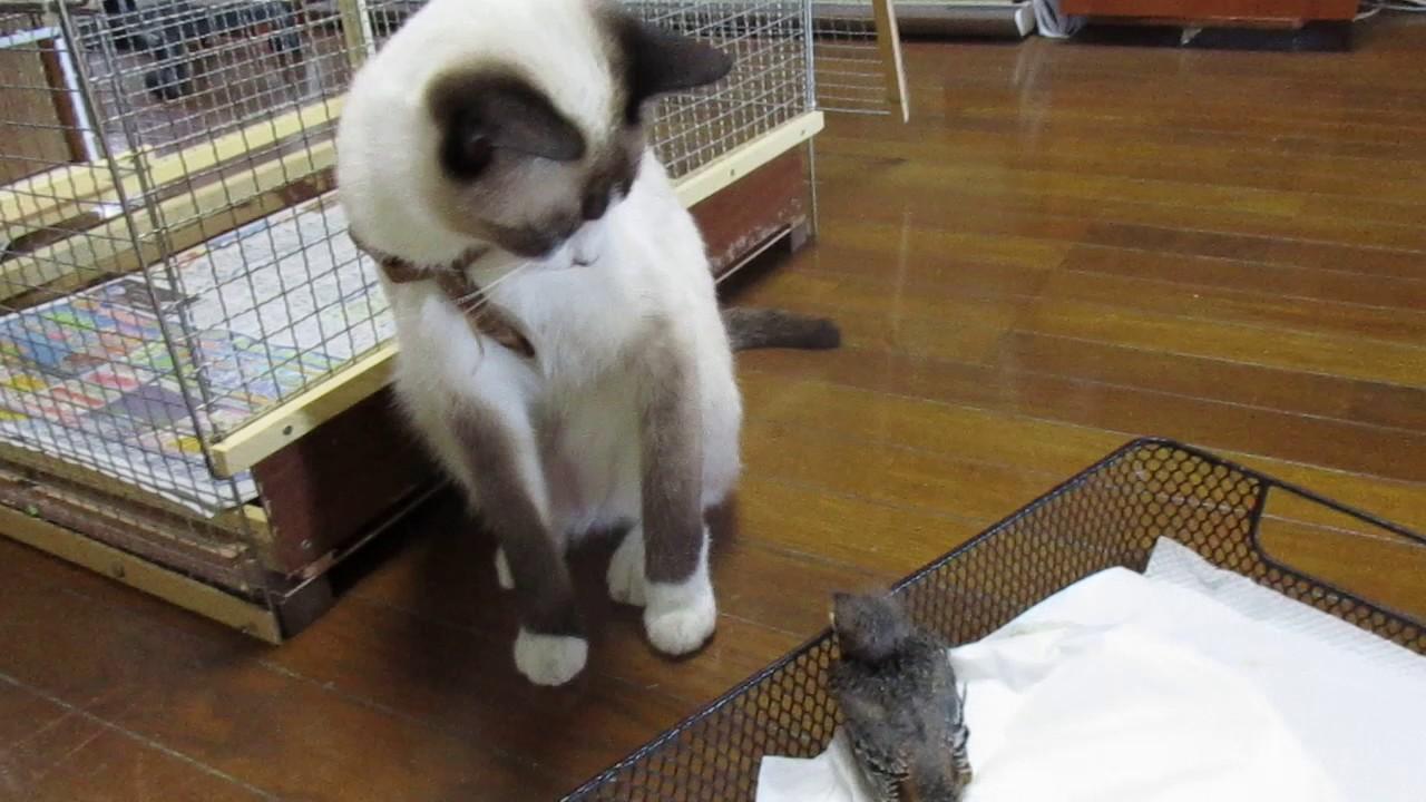 ネコとヒヨドリご対面