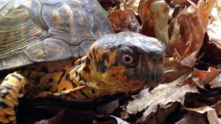 Box Turtle Care-Accepted New Home-Sparky Vid
