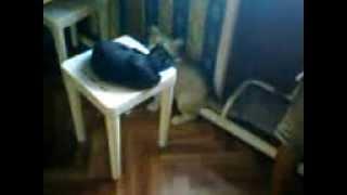маламут и кот) прикольное видео))