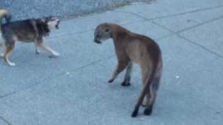 Голодная пума против храбрых собак
