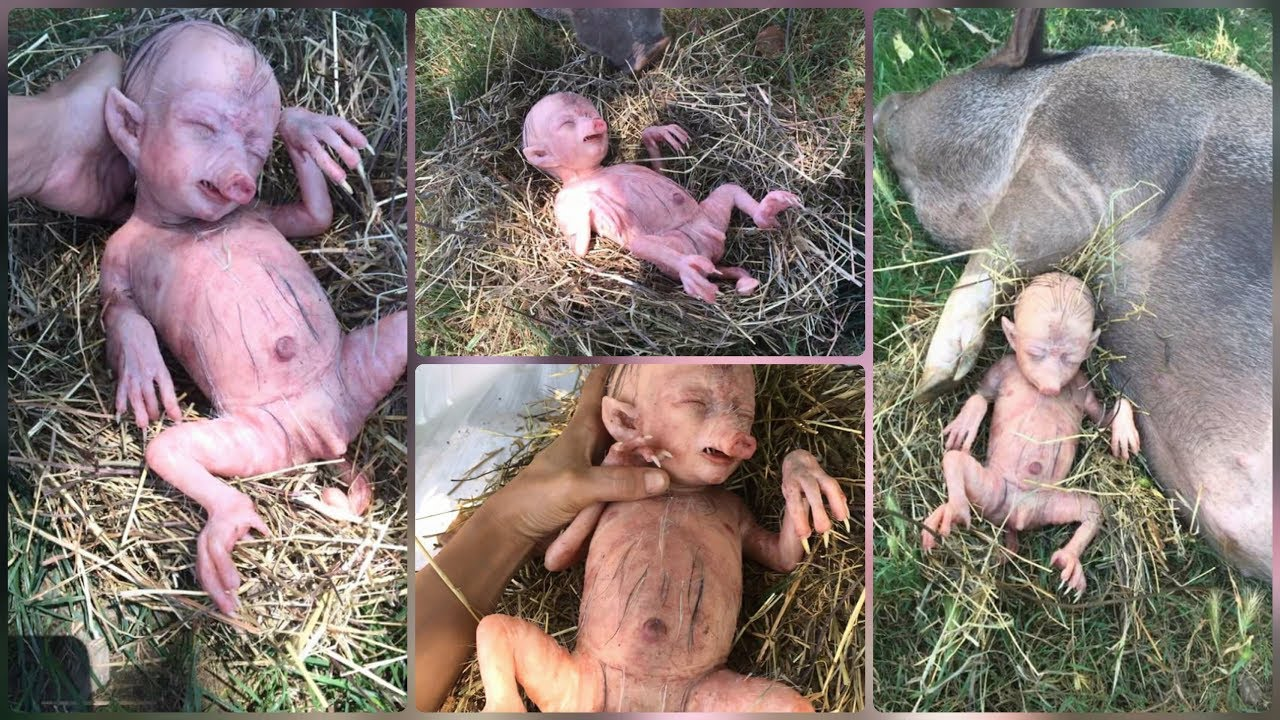 Shocked Baby Hybrid Pig Result When Man Have Sex With Animals Pig_terrace Tv