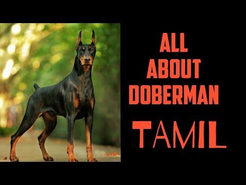 Doberman dog info in tamil