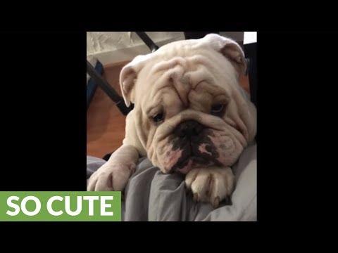 Bulldog bargains for spot on owner's bed