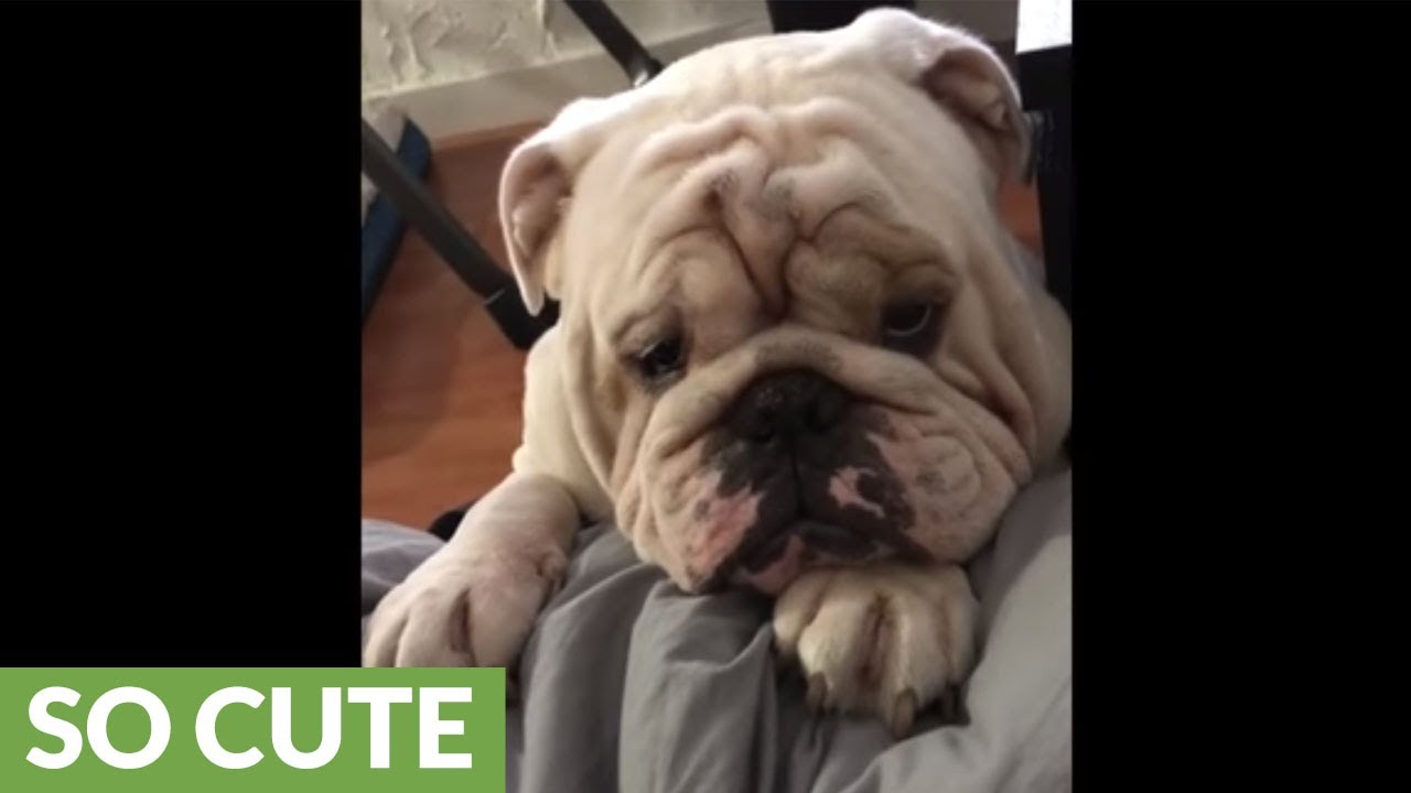 bulldog-bargains-for-spot-on-owner-s-bed