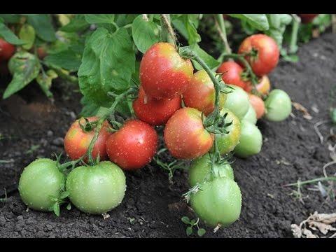 Уличные сорта томатов - мнение Светланы Карповой