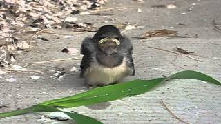成長が遅れ、兄弟は巣立っているのに巣から落ち不安な顔で泣いているツ...